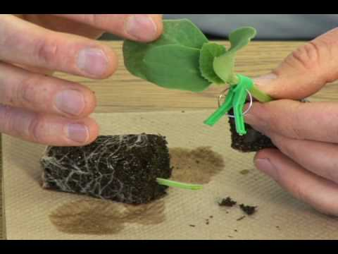 Single cotyledon grafting.avi