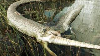 Snakes Vs Crocodiles. (Snake Is The Winner).