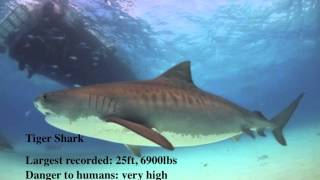 Top 10 Biggest Sharks In The World 2014 [HD]