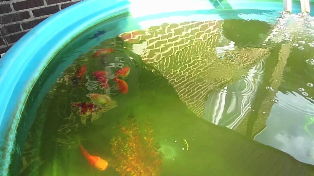1000 gallon stock tank goldfish pond youtube for Goldfish pond designs