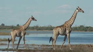 Animal Jam AJHQ Adopts A Giraffe
