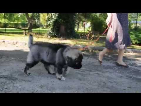 Caucasian Shepherd Puppy - the walk