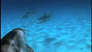 ダイバーをシュモクザメから守るイルカの群れ