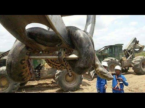 Trăn Anacoda - Sinh vật khổng lồ đáng sợ nhất hành tinh được tìm thấy ở Brazil