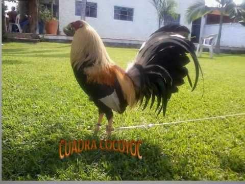 gallos cuadra cocoyoc en venta  cocoyoc morelos