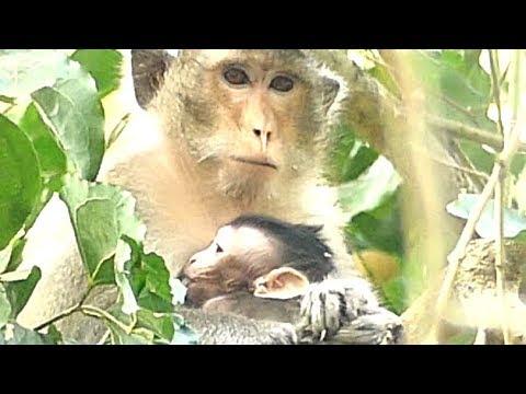 Best Warming Poor Alba Baby Monkey | Mother Nurse and Feeding Milk Comfortable | Monkey Crying
