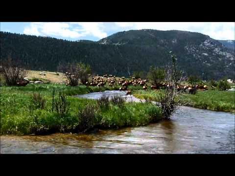 Elk Herd in Rocky Mountain National Park- 2014
