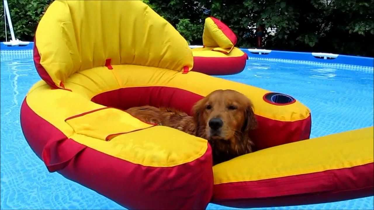 Check This Out Golden Retriever Dogs In Pool To Funny