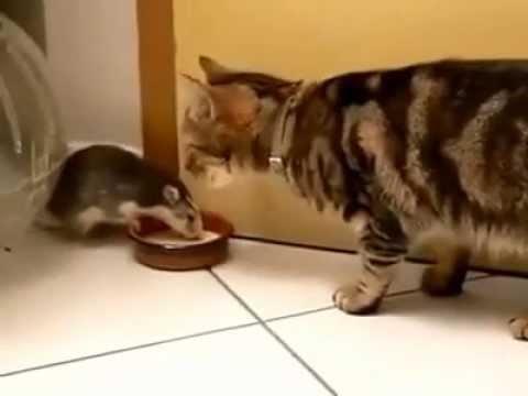 Chú Mèo Hiền Nhất Thế Giới,để Chuột Giành Cả Phần Ăn