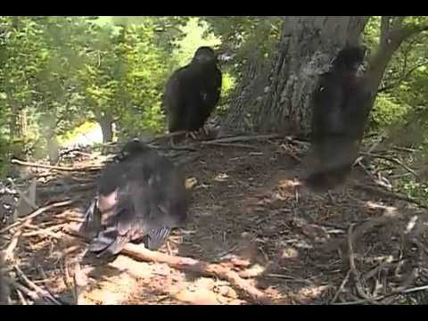Decorah Eaglets,Nice Fly From One End Of Nest Too Cam Trunk&Panning,6/16/14