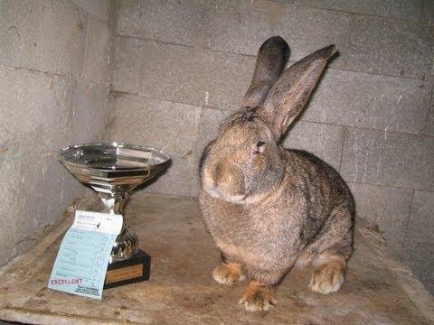 Elevage de lapins géant des flandres pure race