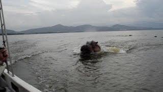 Hipopótamo persigue un bote
