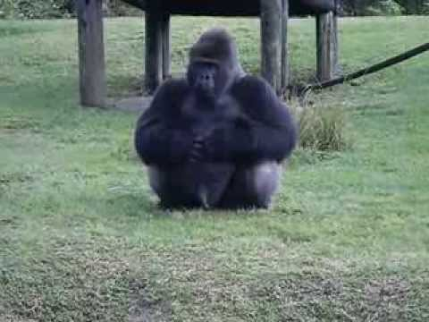 Gorilla using sign language at Miami Zoo asking for my soft pretzel