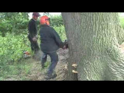 Cutting Down Oak Tree