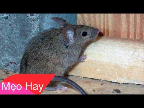 5 Mẹo Đuổi Chuột Không Cần Sài Bẫy Hay Nuôi Mèo - Đơn Giản Và Vô Cùng Hiệu Quả