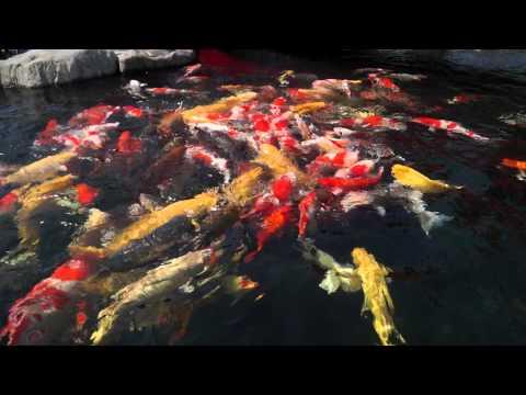 Hồ cá Koi lớn nhất và đẹp nhất VN 3/3 - Vườn Nhật Bản/Rin Rin Park (Tùng Sơn Thạch Hoa Viên)