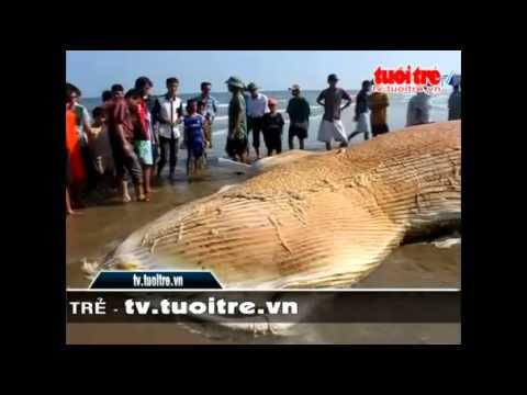 Cá voi nặng hơn ba tấn trôi dạt vào bãi biển Tĩnh Gia