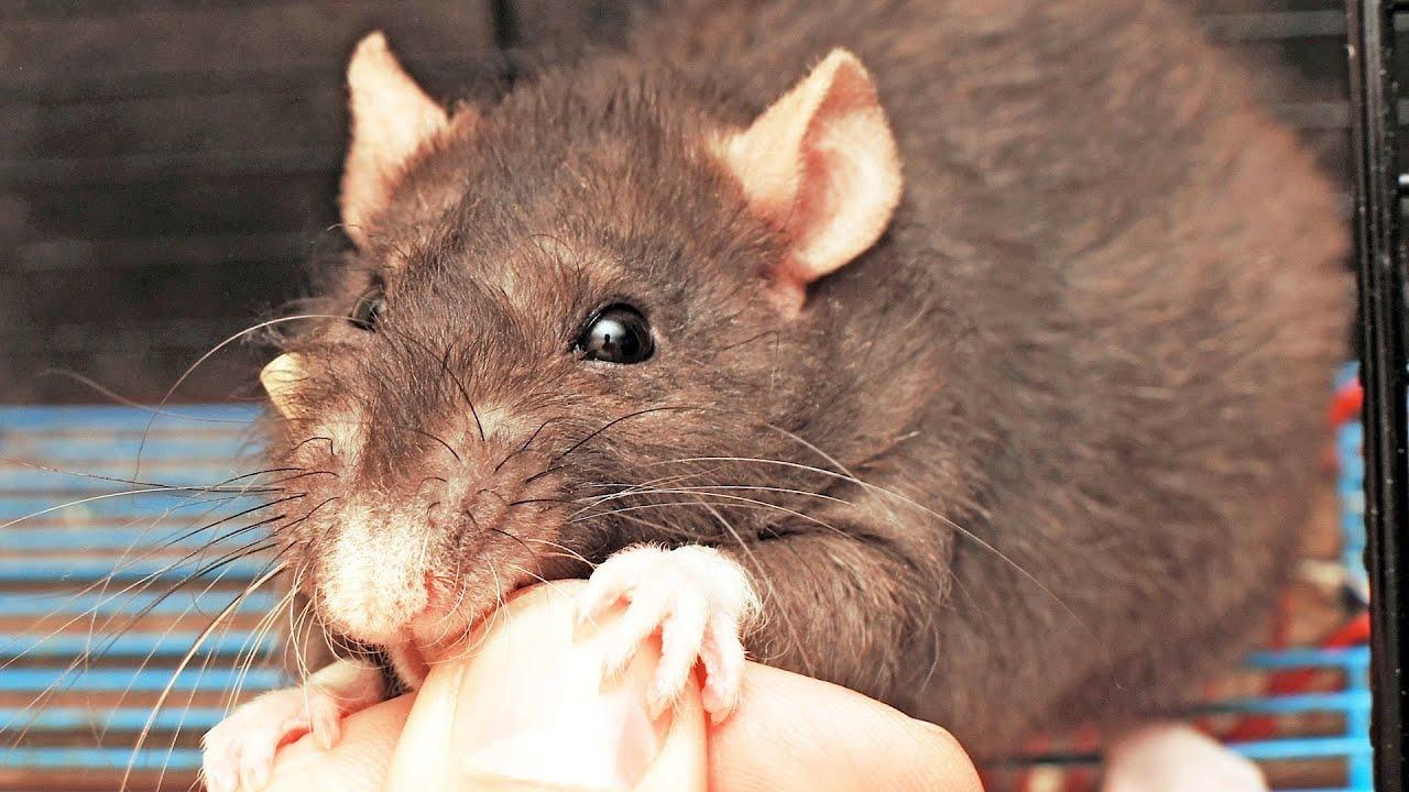 Фото больших крыс 16 фотография