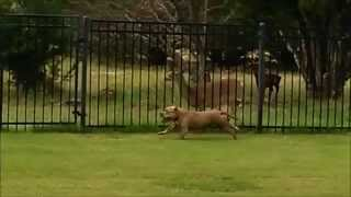 [When's The Last Time You Saw A Dog And A Deer Playing?] Video