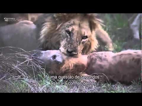 animales salvajes leon estrangula hiena