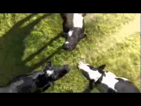 Quảng cáo sữa vinamilk những con bò vui nhộn 2014
