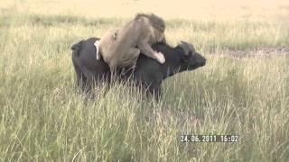 Singa menyerang banteng hutan