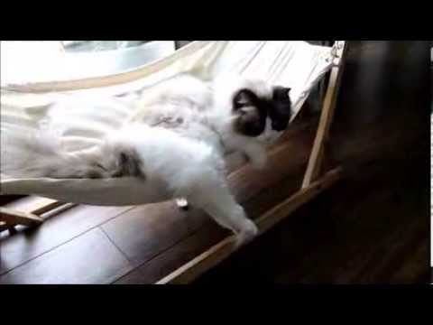 Timo the Ragdoll Cat tries out his new hammock