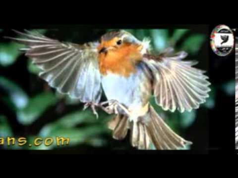 Sam Abdul - European Robin · Erithacus rubecula