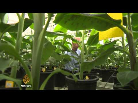 Belgium lab fights fungus to save bananas