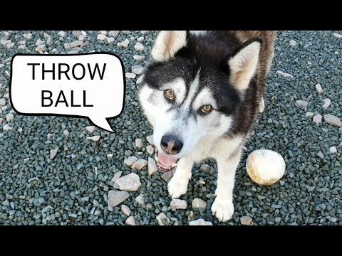 Dog talking to me while playing ball   Funny and Cute