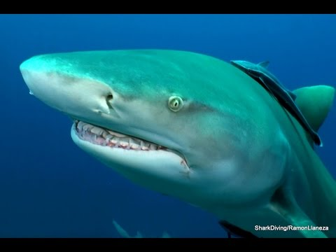 Shark Diving Silky, Lemon & Tiger Sharks interacting with divers