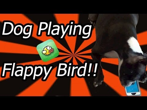 Cute Dog Plays Flappy Bird