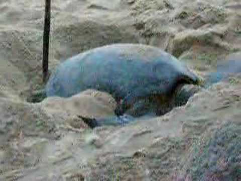 Sea Turtle covering nest