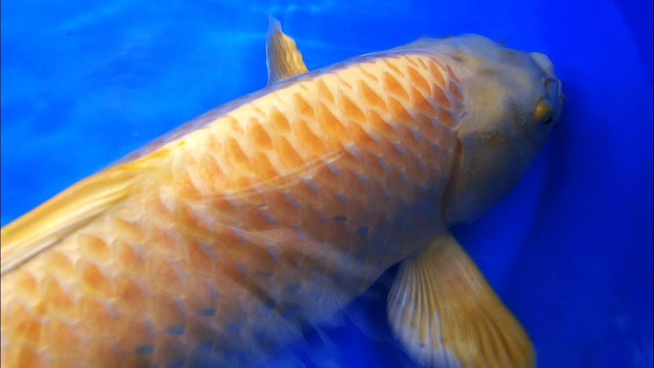 Koi varieties yamabuki ogon koi tutorial 3 of 3 youtube for Yamabuki koi fish