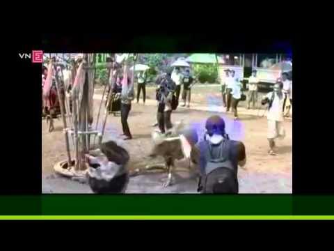 Lễ hội đâm trâu dã man tại Sơn Tây   Hà Nội