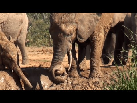Baby Elephant Saved By Mother