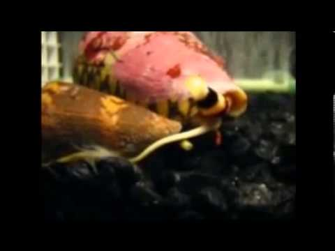 Biodiversity of Cone Snails and Other Venomous Marine Gastropods: Supplemental Video 2