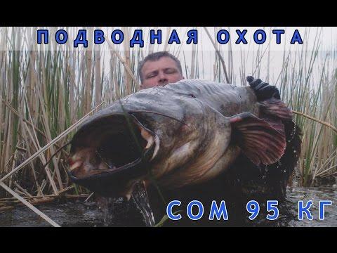 Видео Подводная охота на трофейного сома видео 95 кг  (katrangun.com)