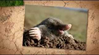 How To Get Rid Of Moles In Yard, Lawn And Garden Areas