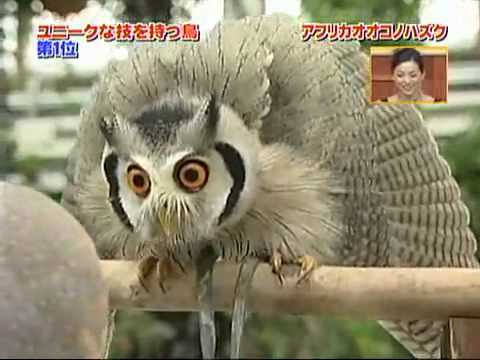 chim cú mèo biến hình -transforming owl