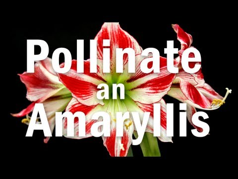 Thumbnail image for 'How to Pollinate an Amaryllis Flower'