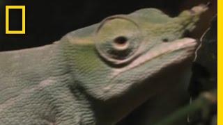 Saat Bunglon Mencari Jodoh! Bagaimana jika makhluk dengan kulit mengagumkan ini ingin berinteraksi dengan lawan jenisnya?