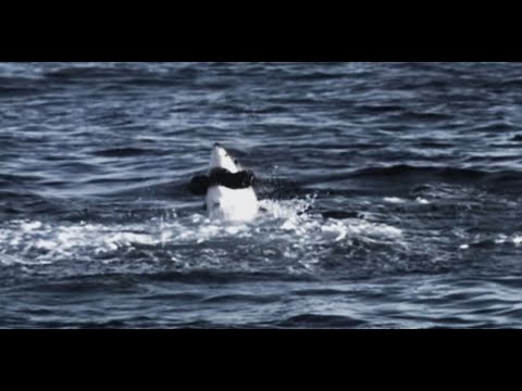 The Killing Machine: Great White Shark Attack - Deadly 60 - South Africa - Series 3 - BBC
