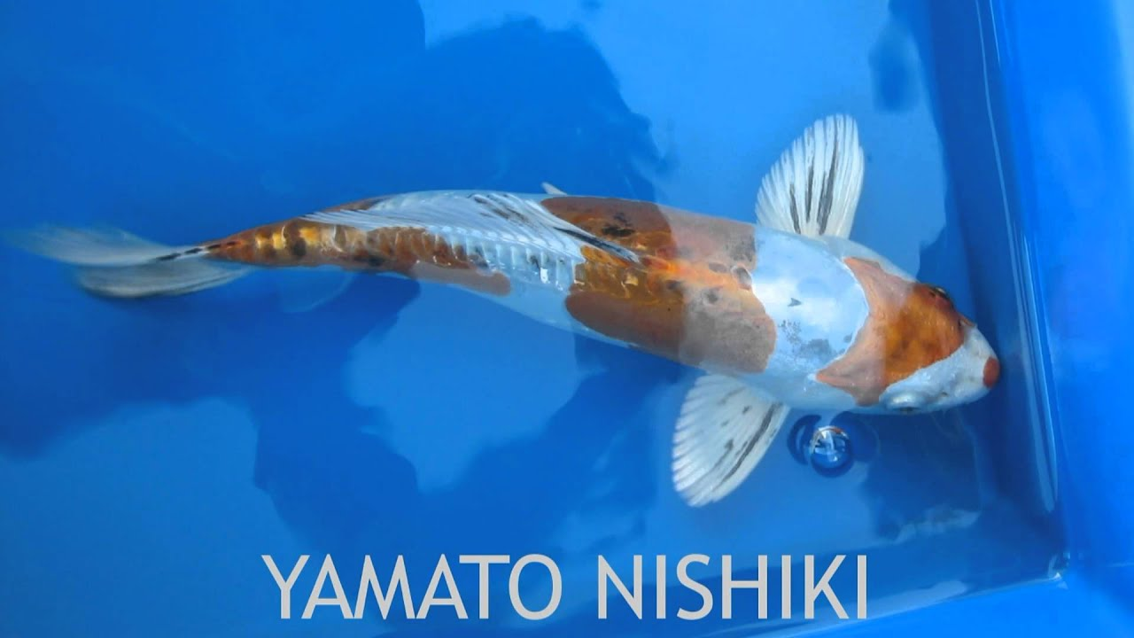 Koi fish varieties youtube for Koi fish species