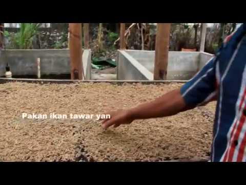 Video cara pembuatan pakan ikan air  tawar