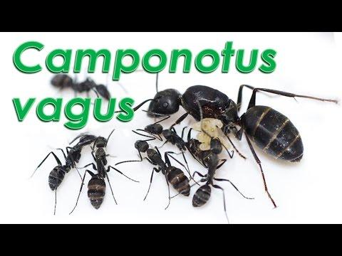 Le formiche di Gianni - Camponotus vagus