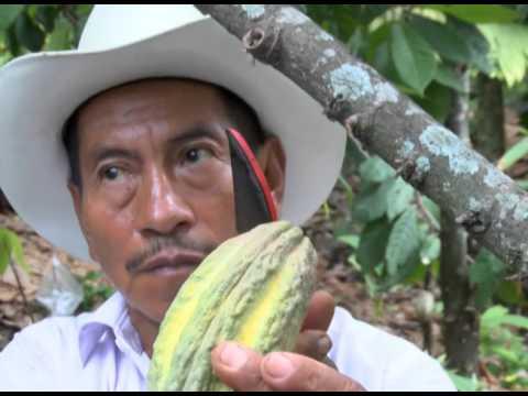 Cáritas impulsa cultivo del cacao.