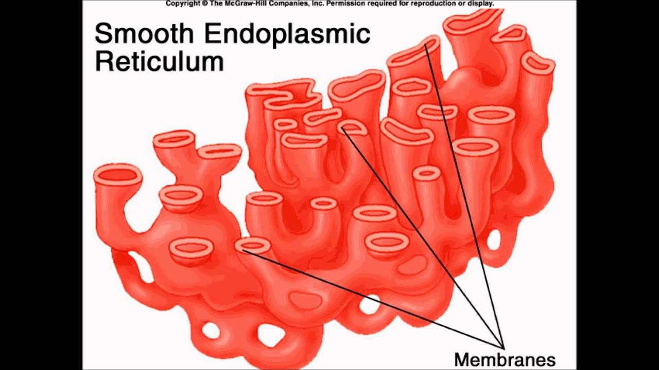 endoplasmic reticulum The endoplasmic reticulum (er) is a network of flattened sacs and branching tubules that extends throughout the cytoplasm in plant and animal cells these sacs and tubules are all interconnected by a single continuous membrane so that the organelle has only one large, highly convoluted and complexly arranged lumen (internal space.