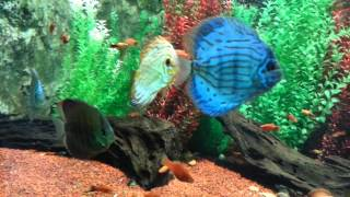 [Discus Fish (Symphysodon) is popular as aquarium fish]