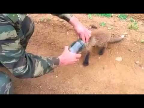 Fox cub comes to people for help